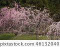 cherry blossom, cherry tree, three months of spring 46132040