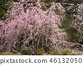 cherry blossom, cherry tree, three months of spring 46132050