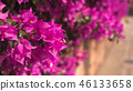 purple bougainvillea flowers 46133658