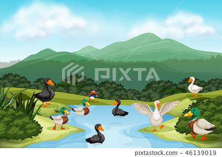 Ducks in pond scene 46139019