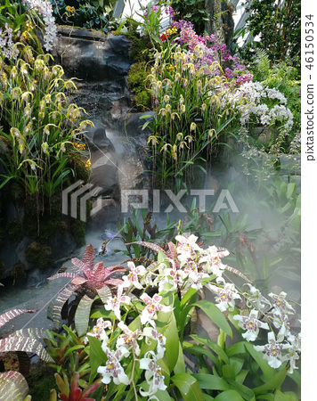 Oncidium家畜蘭花白花植物Oncidium白花 46150534
