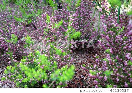 에리카 보라색 꽃 Erica purple flower 46150537