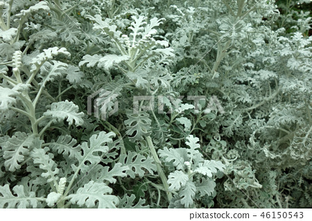 白色大黃植物從事園藝的多灰塵的磨工白色生葉 46150543