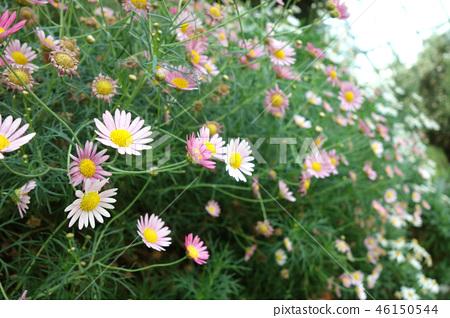 Margaret Plant Gardening Marguerite Flower Gardening 46150544