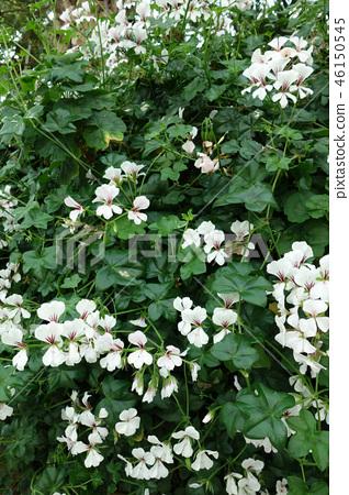 Oncidium White Flower Plant Oncidium White Flower 46150545