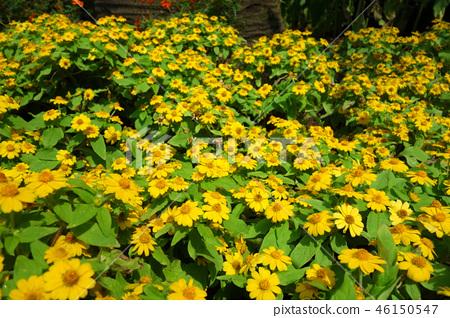Melanpodium黃色花從事園藝Melampodium黃色花 46150547