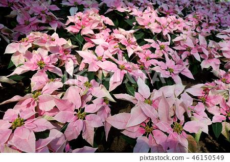 一品紅粉紅色的花一品紅粉紅色的花 46150549