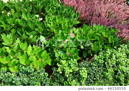 Plant green pink flower Green leaf and Pink Flower 46150550