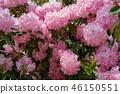 진달래 핑크 꽃 원예 Rhododendron Pink flower 46150551