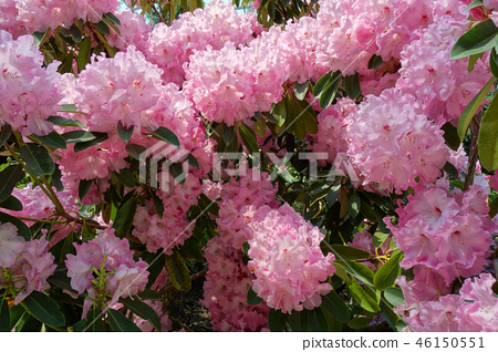 Rhododendron Pink Flower Gardening Rhododendron Pink flower 46150551