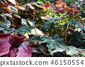 녹색 잎 붉은 잎 원예 Green leaf and Red leaf Gardening 46150554