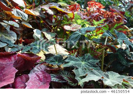 Green leaf Red leaf Gardening Green leaf and Red leaf Gardening 46150554