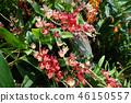 온시지우무 붉은 꽃 원예 Oncidium Red flower 46150557