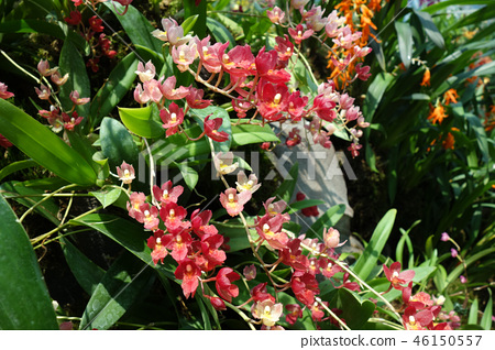 Oncidium Red flower Gardening Oncidium Red flower 46150557