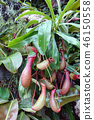 카즈 라 식충 식물 녹색 Nepenthes rafflesiana Jack Green 46150558