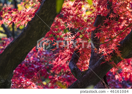 Autumn leaves of sweet spring garden park stained with red 46161084