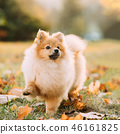 Young Red Puppy Pomeranian Spitz Puppy Dog Step Outdoor In Autum 46161825