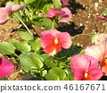 Pink pretty flowers bloom from autumn with viola flowers 46167671