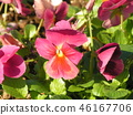 Pink pretty flowers bloom from autumn with viola flowers 46167706