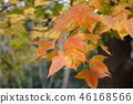 ต้นเมเปิล,สวน,สวนสาธารณะ 46168566