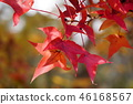 ต้นเมเปิล,สวน,สวนสาธารณะ 46168567