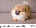 funny small pomeranian puppy barking on the couch 46168956