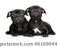 American Staffordshire terrier puppies 46169044