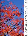 하우찌와카에데의 원예 품종 마이 공작 단풍 46171034