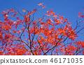 하우찌와카에데의 원예 품종 마이 공작 단풍 46171035