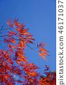 하우찌와카에데의 원예 품종 마이 공작 단풍 46171037