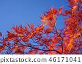 하우찌와카에데의 원예 품종 마이 공작 단풍 46171041