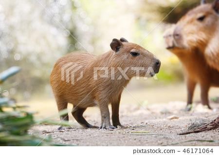 Capybara (Hydrochoerus hydrochaeris) 46171064