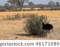 Ostrich bird rearing chicks in the savannah 46171080