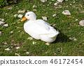 Mallard Anas platyrhynchos standing on the shore, male wild duck at park near river 46172454