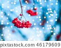 Natural winter frozen red  rowan berries  46179609