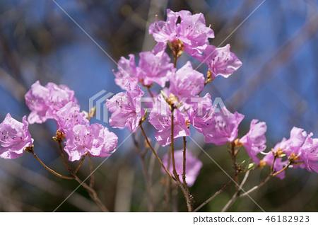 Rhododendron mucronulatum 46182923