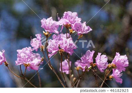 Rhododendron mucronulatum 46182925