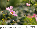 Pink Cosmos blooming 46182995