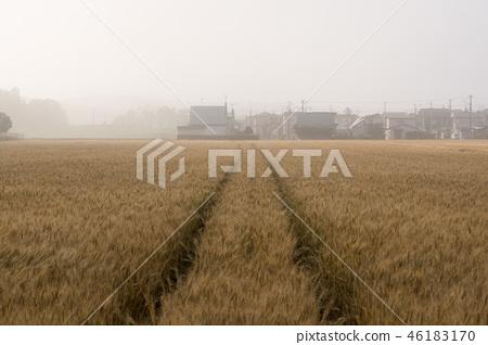 Field of barley 46183170