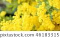 含羞草 刺槐 花朵 46183315