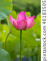 Lotus Flower 46183505