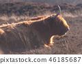 Scottish Higland cow 46185687