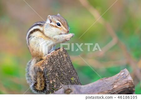 다람쥐 이야기 46186105