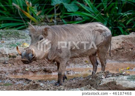 疣豬 46187468