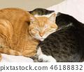 毛孩 貓 貓咪 46188832
