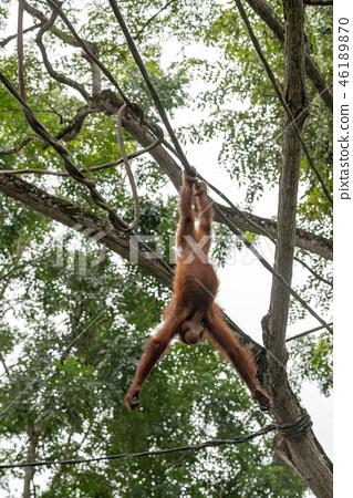 猩猩在樹上玩 46189870