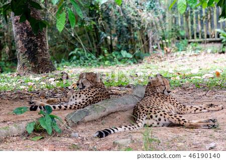 獵豹 46190140
