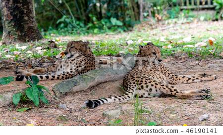 獵豹 46190141