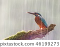 Male common kingfisher in heavy rain with sun shining from behind. 46199273