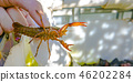 Hand holding an orange crawdad over growbed 46202284